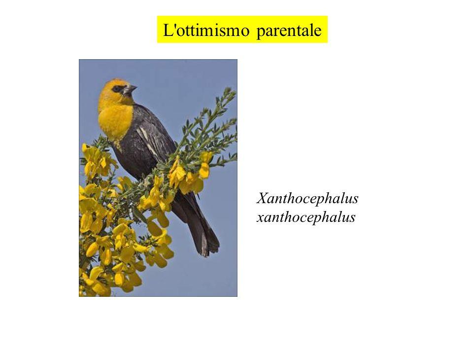 L ottimismo parentale Xanthocephalus xanthocephalus