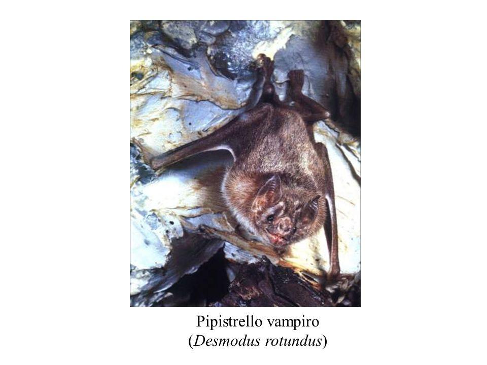Pipistrello vampiro (Desmodus rotundus)