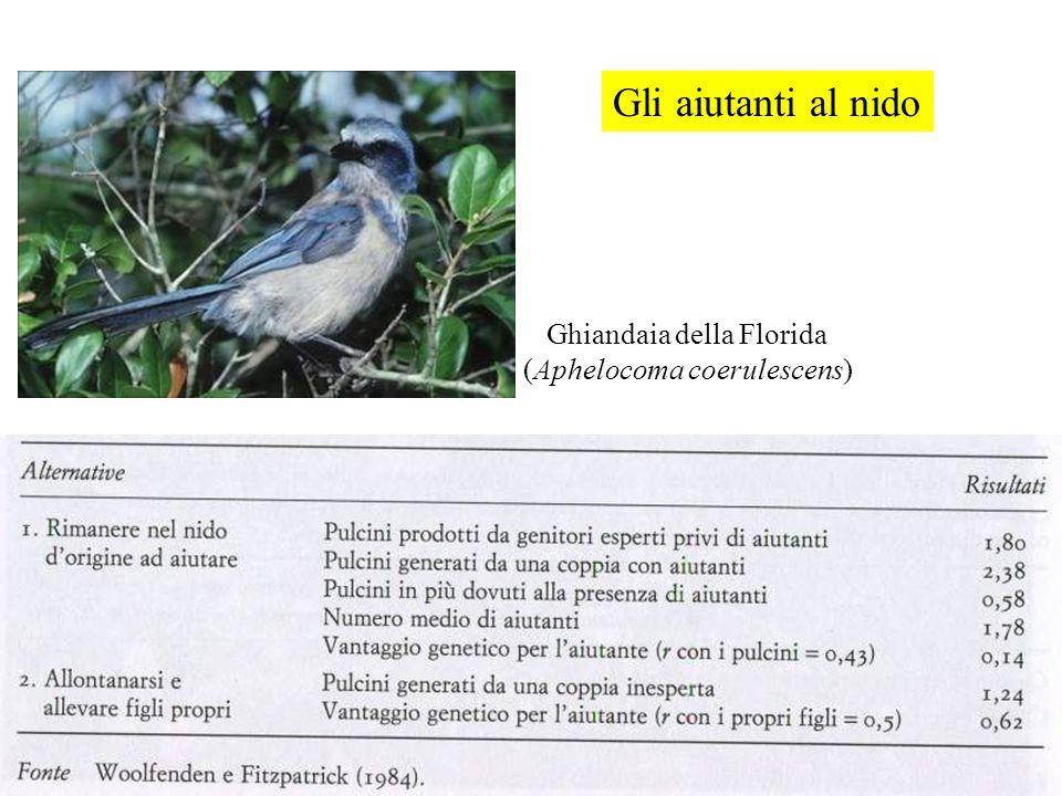 Gli aiutanti al nido Ghiandaia della Florida (Aphelocoma coerulescens)