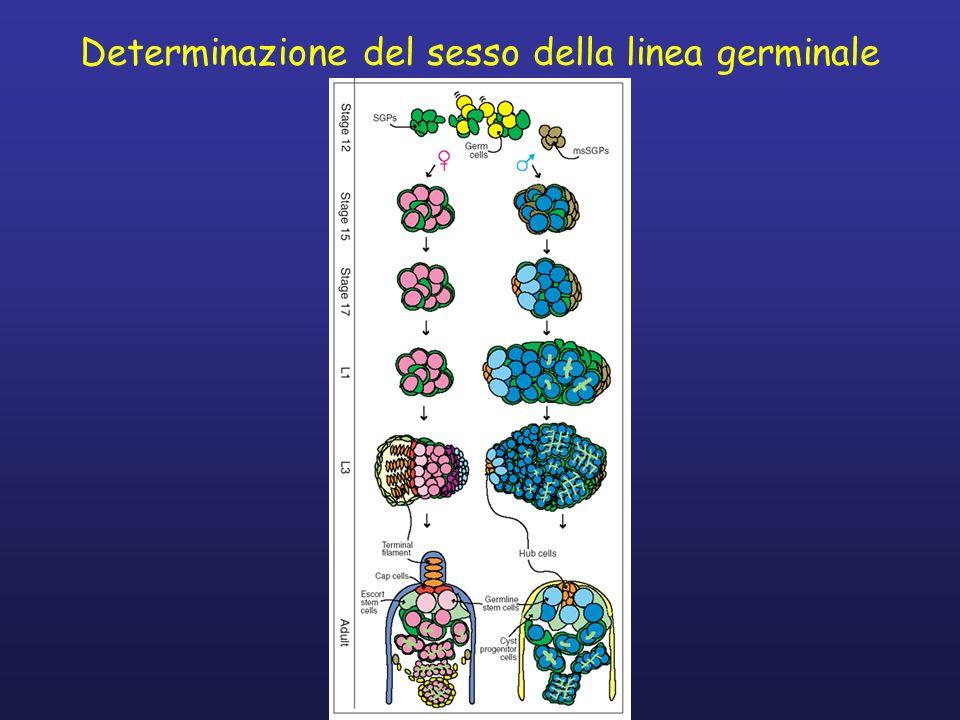 Determinazione del sesso della linea germinale