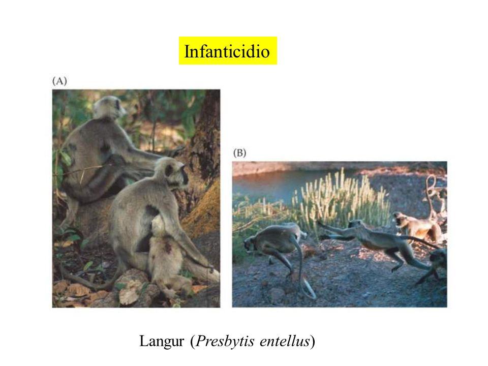 Infanticidio Langur (Presbytis entellus)