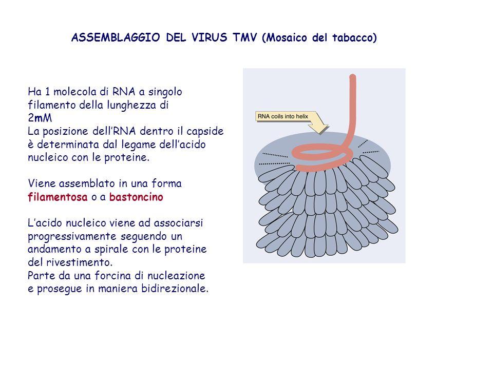 ASSEMBLAGGIO DEL VIRUS TMV (Mosaico del tabacco)