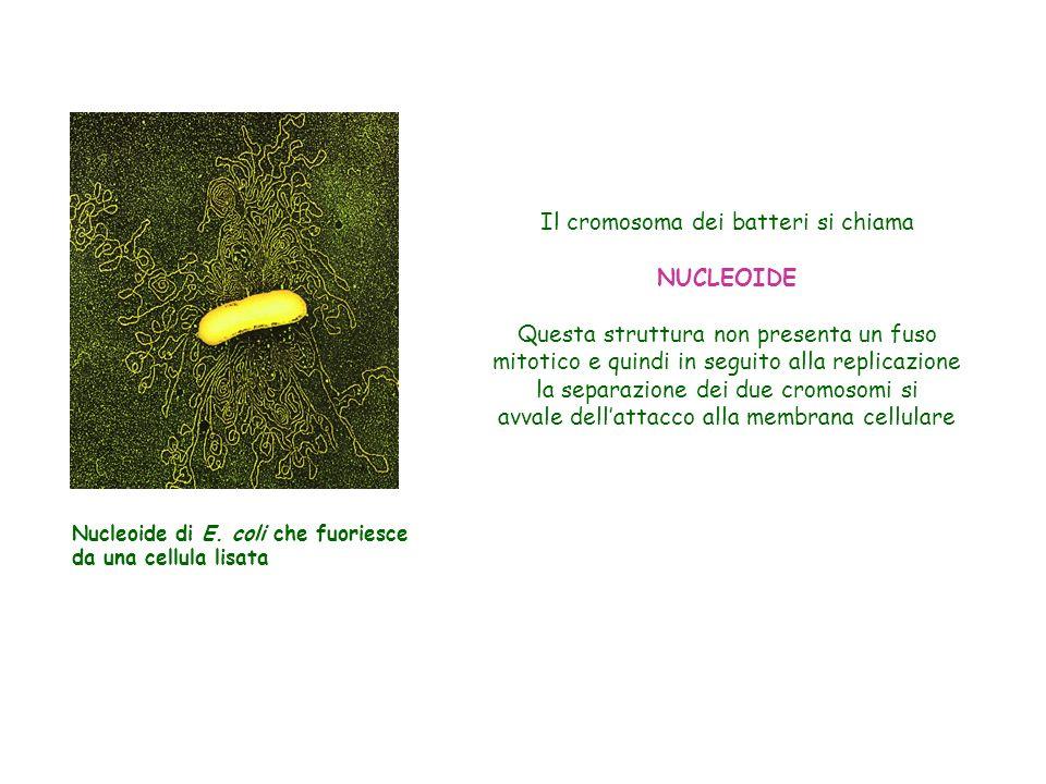 Il cromosoma dei batteri si chiama NUCLEOIDE