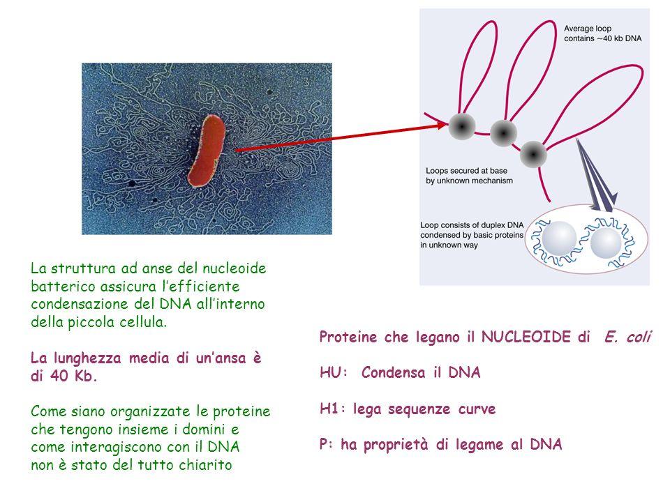 La struttura ad anse del nucleoide