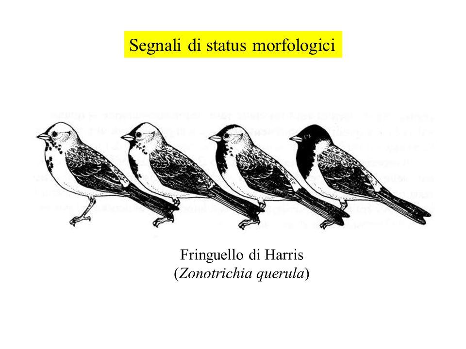 (Zonotrichia querula)