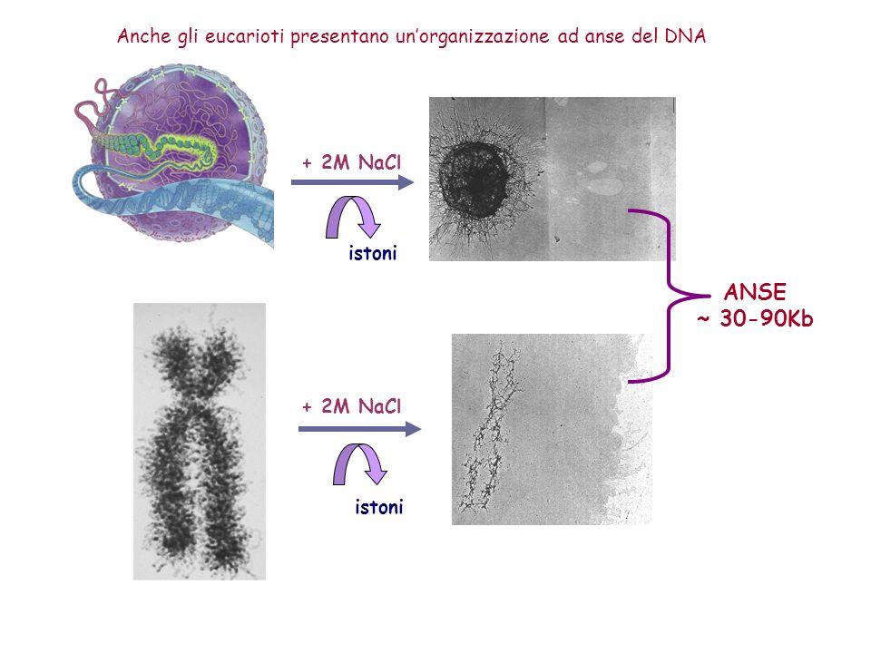 Anche gli eucarioti presentano un'organizzazione ad anse del DNA