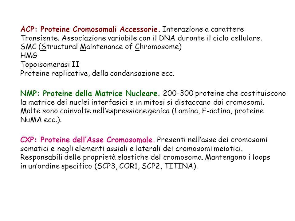 ACP: Proteine Cromosomali Accessorie. Interazione a carattere