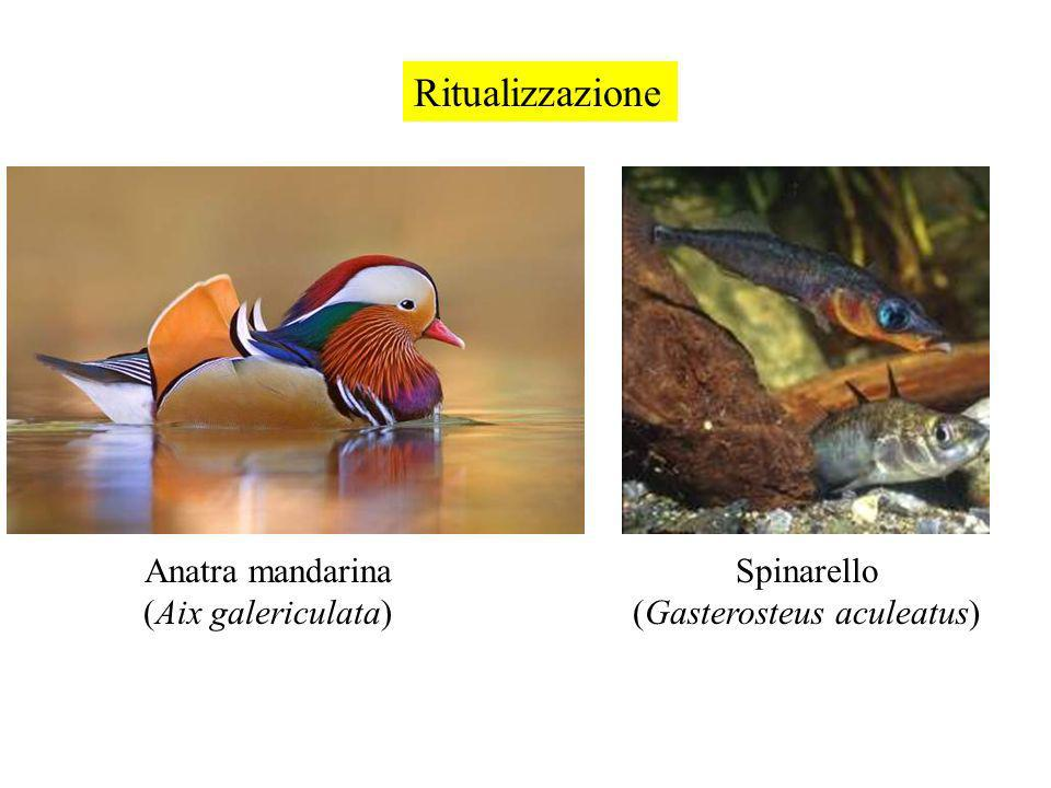 (Gasterosteus aculeatus)