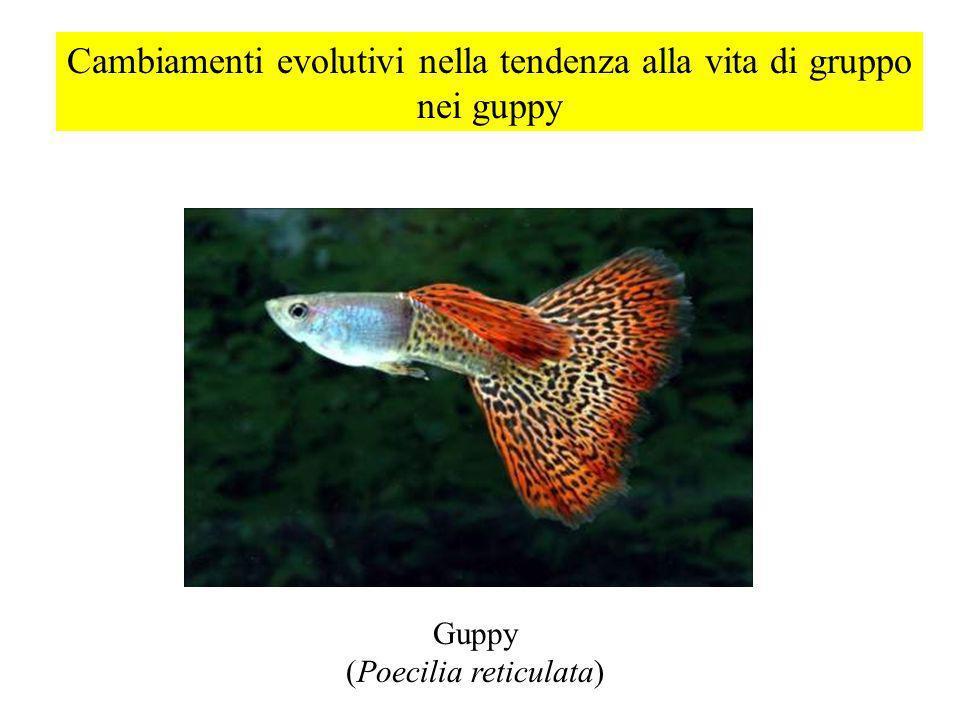 Cambiamenti evolutivi nella tendenza alla vita di gruppo nei guppy