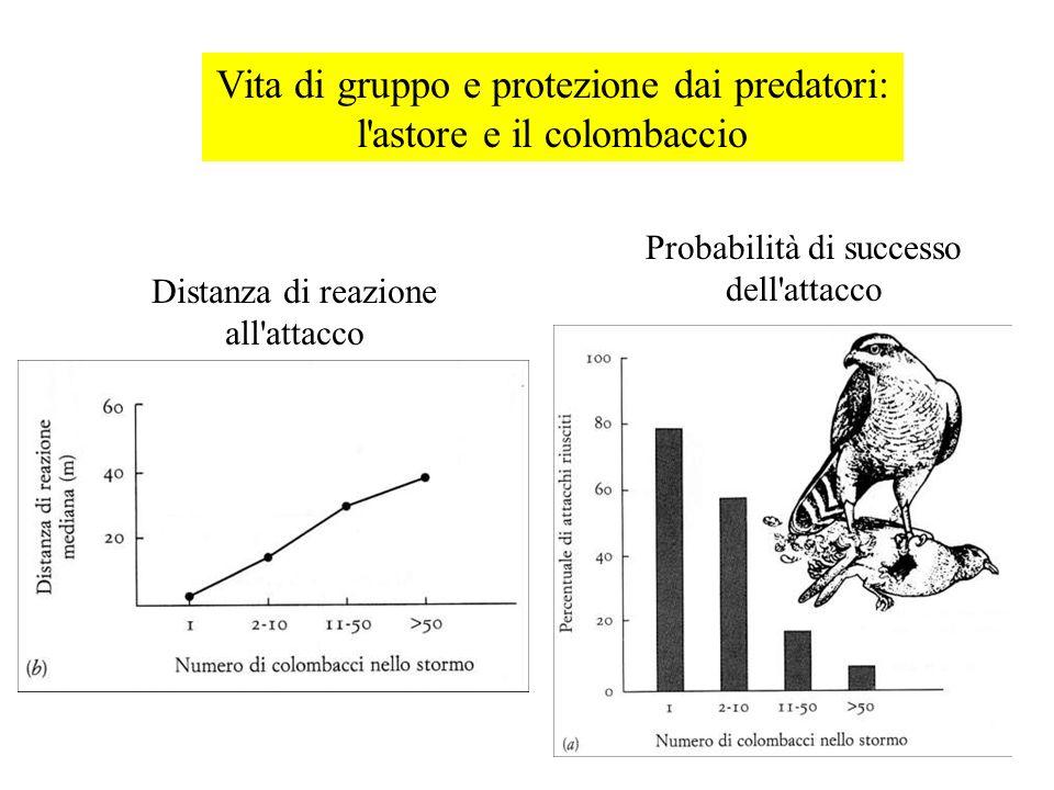 Vita di gruppo e protezione dai predatori: l astore e il colombaccio