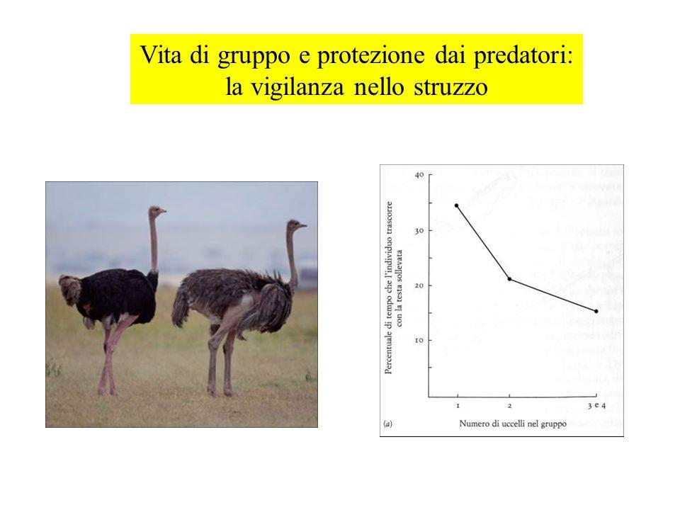 Vita di gruppo e protezione dai predatori: la vigilanza nello struzzo