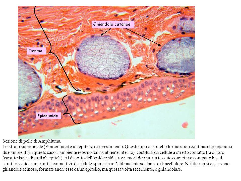 Sezione di pelle di Amphiuma.