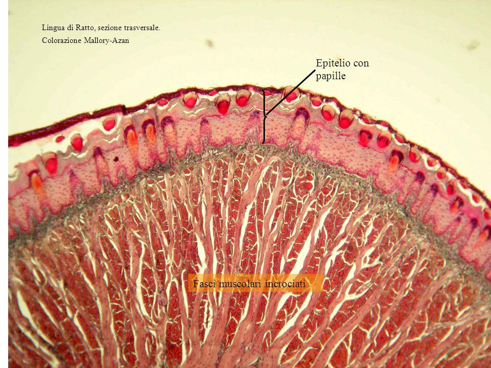 Fasci muscolari incrociati