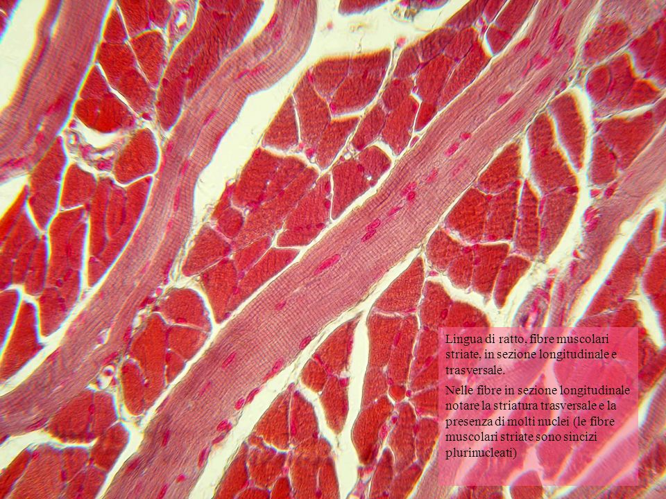 Lingua di ratto, fibre muscolari striate, in sezione longitudinale e trasversale.