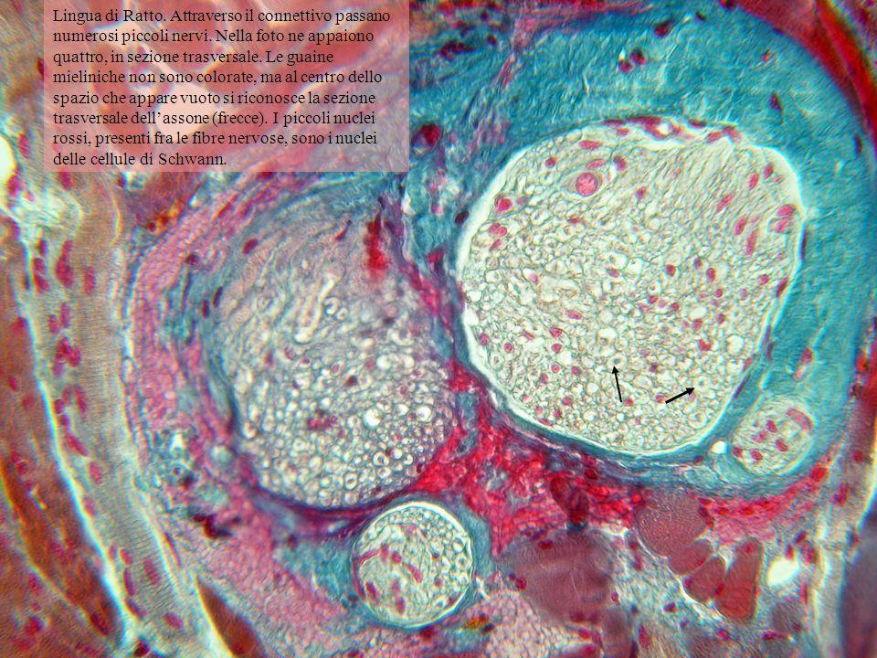 Lingua di Ratto. Attraverso il connettivo passano numerosi piccoli nervi. Nella foto ne appaiono quattro, in sezione trasversale. Le guaine mieliniche non sono colorate, ma al centro dello spazio che appare vuoto si riconosce la sezione trasversale dell'assone (frecce). I piccoli nuclei rossi, presenti fra le fibre nervose, sono i nuclei delle cellule di Schwann.