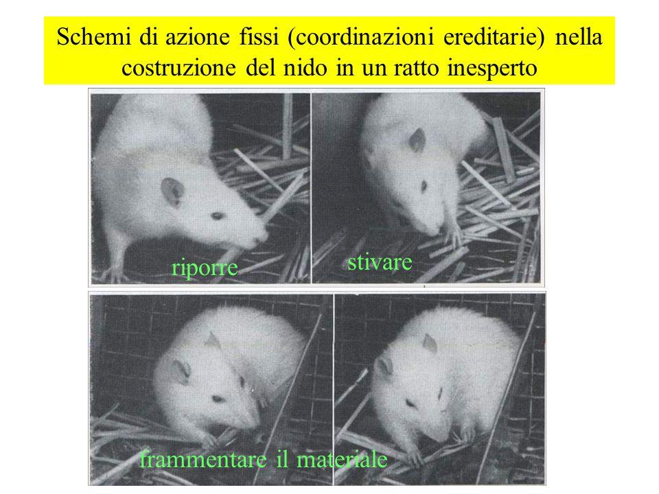 Schemi di azione fissi (coordinazioni ereditarie) nella costruzione del nido in un ratto inesperto