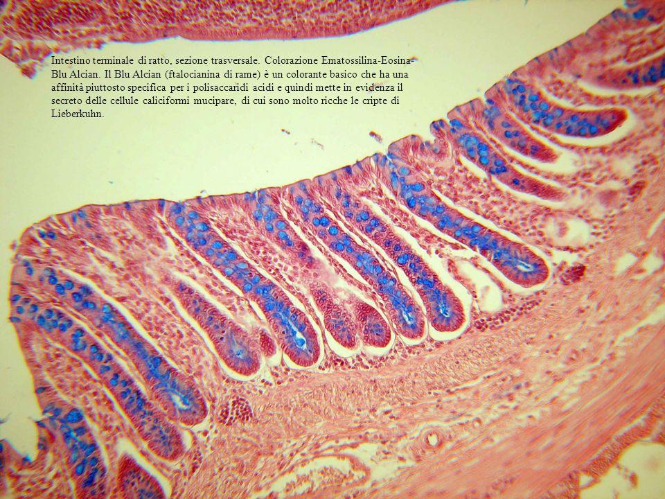 Intestino terminale di ratto, sezione trasversale