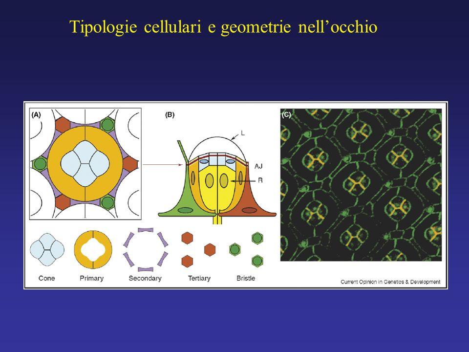 Tipologie cellulari e geometrie nell'occhio