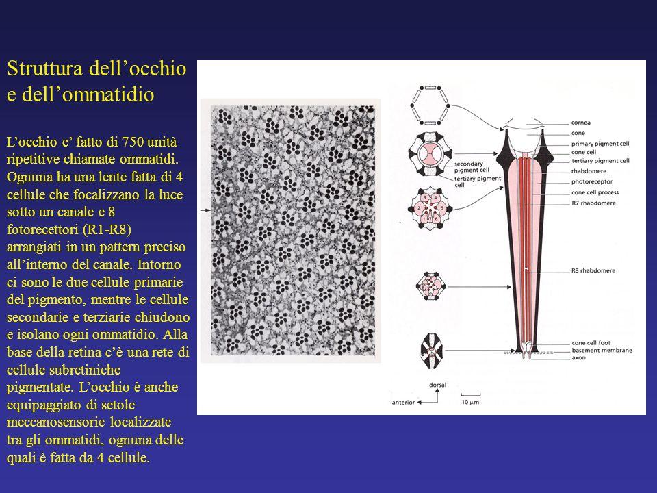 Struttura dell'occhio e dell'ommatidio