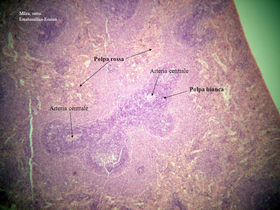 Polpa rossa Polpa bianca Arteria centrale