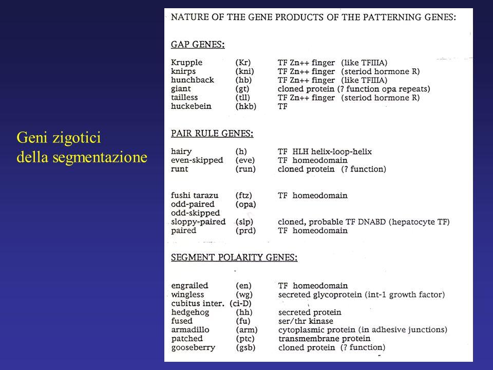Geni zigotici della segmentazione