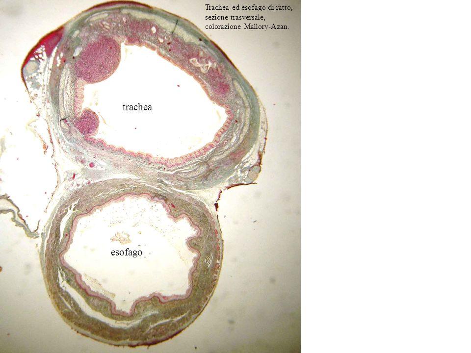 Trachea ed esofago di ratto, sezione trasversale, colorazione Mallory-Azan.