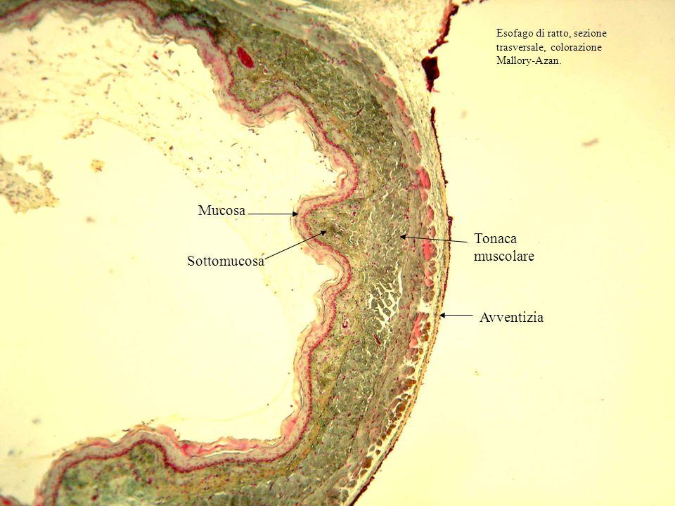 Mucosa Tonaca muscolare Sottomucosa Avventizia