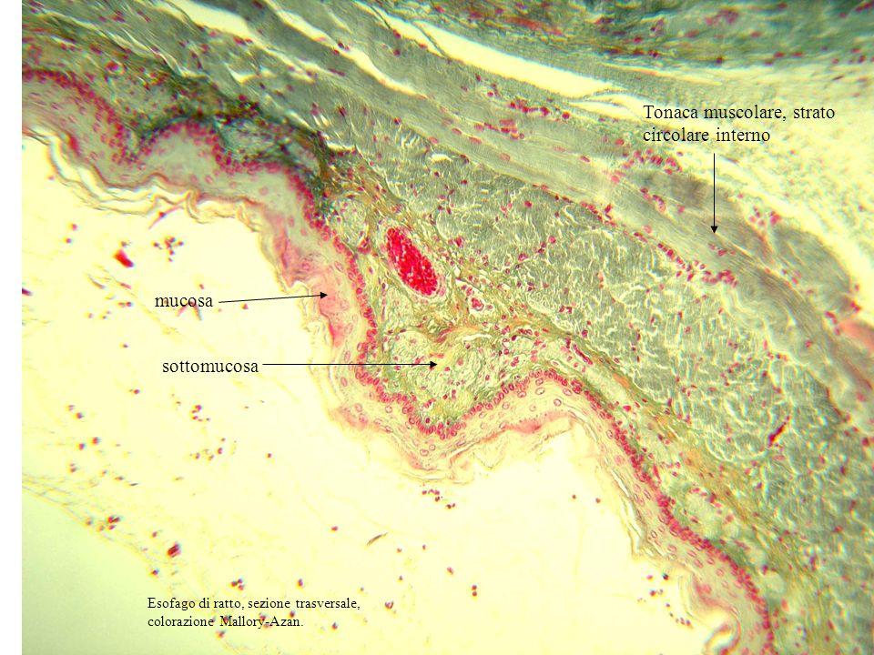 Tonaca muscolare, strato circolare interno