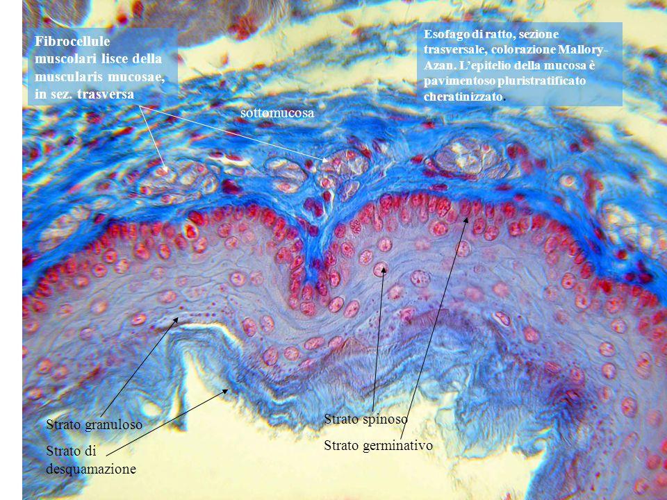 Strato di desquamazione Strato spinoso Strato germinativo sottomucosa