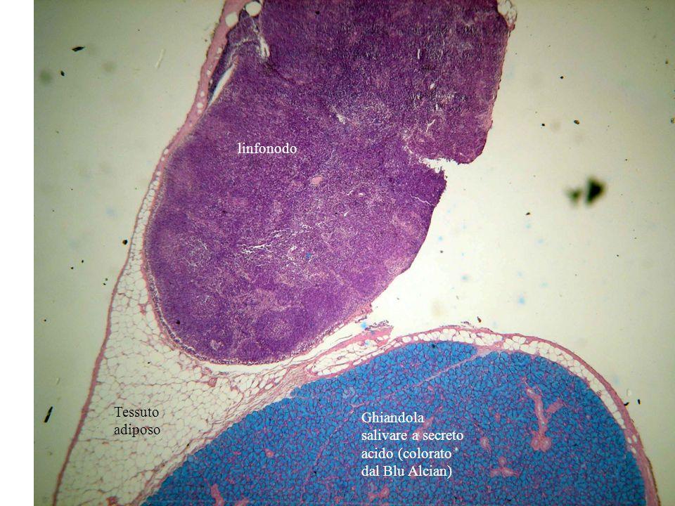 linfonodo Tessuto adiposo Ghiandola salivare a secreto acido (colorato dal Blu Alcian)