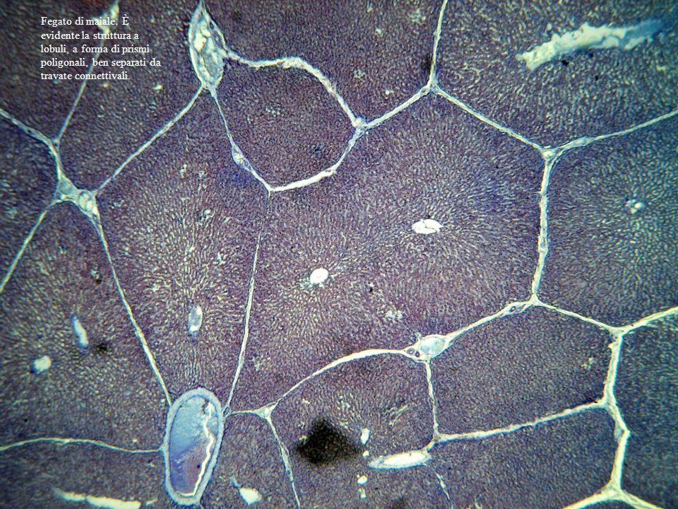 Fegato di maiale. È evidente la struttura a lobuli, a forma di prismi poligonali, ben separati da travate connettivali.