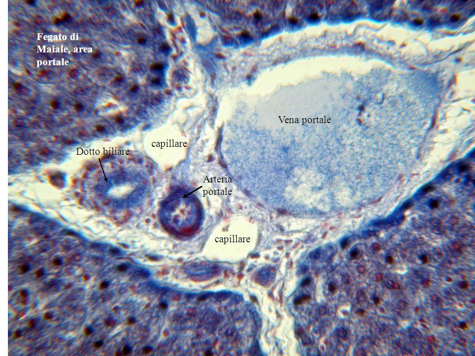 Fegato di Maiale, area portale