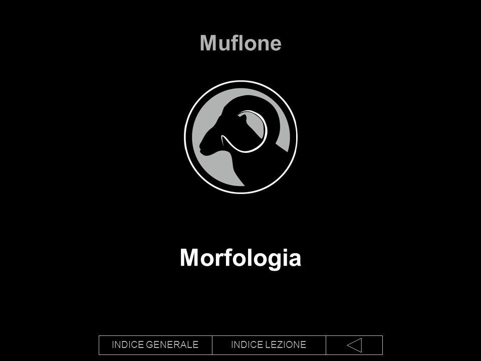 Muflone Morfologia