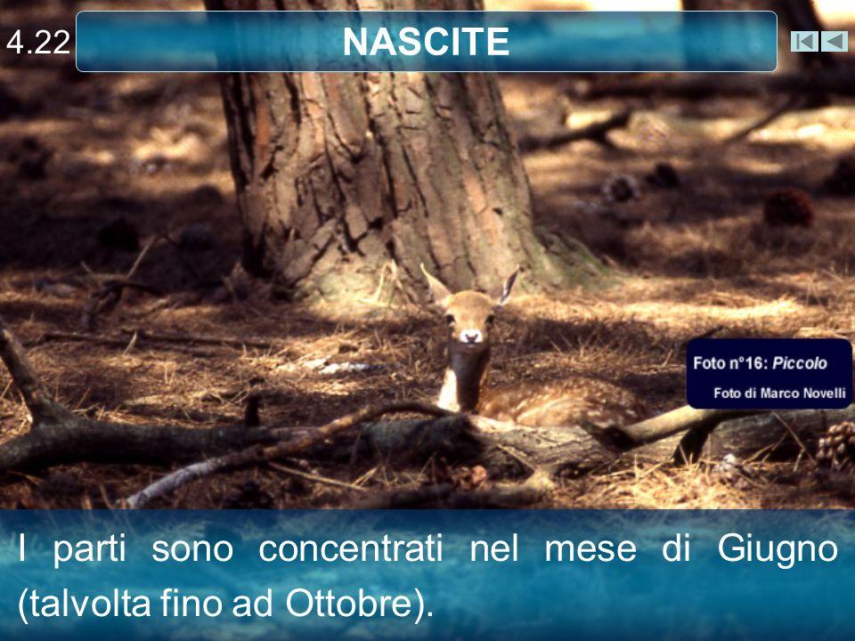 4.22 NASCITE Capriolo I parti sono concentrati nel mese di Giugno (talvolta fino ad Ottobre).