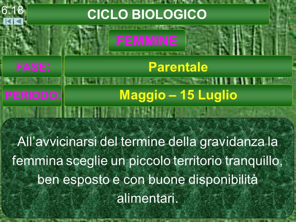 CICLO BIOLOGICO FEMMINE Parentale Maggio – 15 Luglio