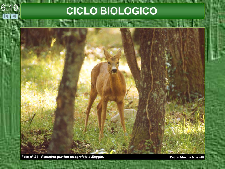 6.19 CICLO BIOLOGICO