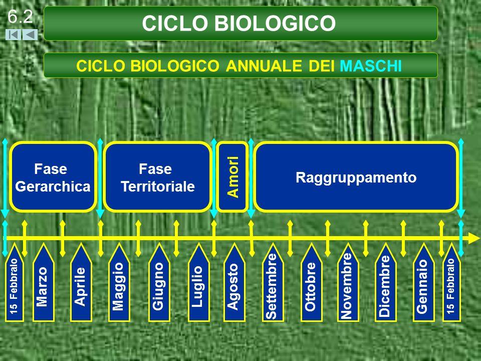 CICLO BIOLOGICO ANNUALE DEI MASCHI
