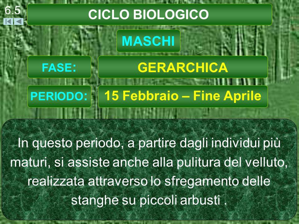 CICLO BIOLOGICO MASCHI GERARCHICA 15 Febbraio – Fine Aprile