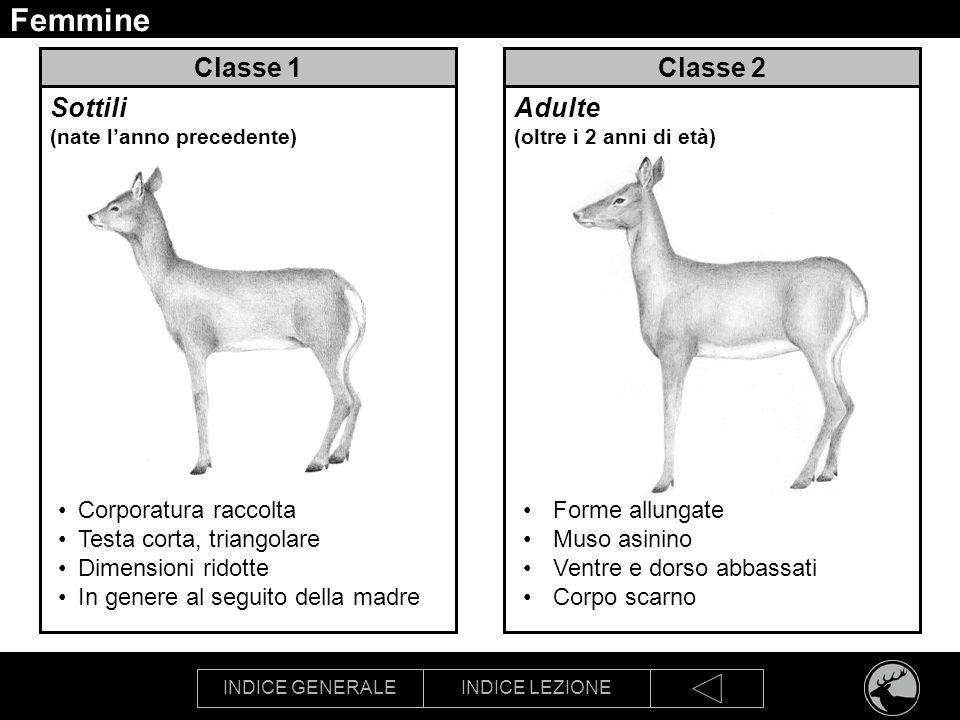 Femmine Classe 1 Classe 2 Sottili (nate l'anno precedente)