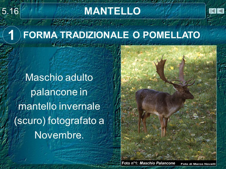 5.16 MANTELLO. 1. FORMA TRADIZIONALE O POMELLATO.