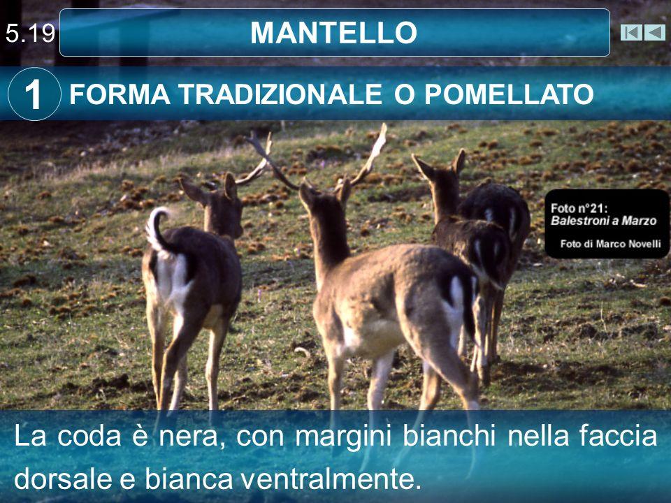 5.19 MANTELLO. 1. FORMA TRADIZIONALE O POMELLATO.