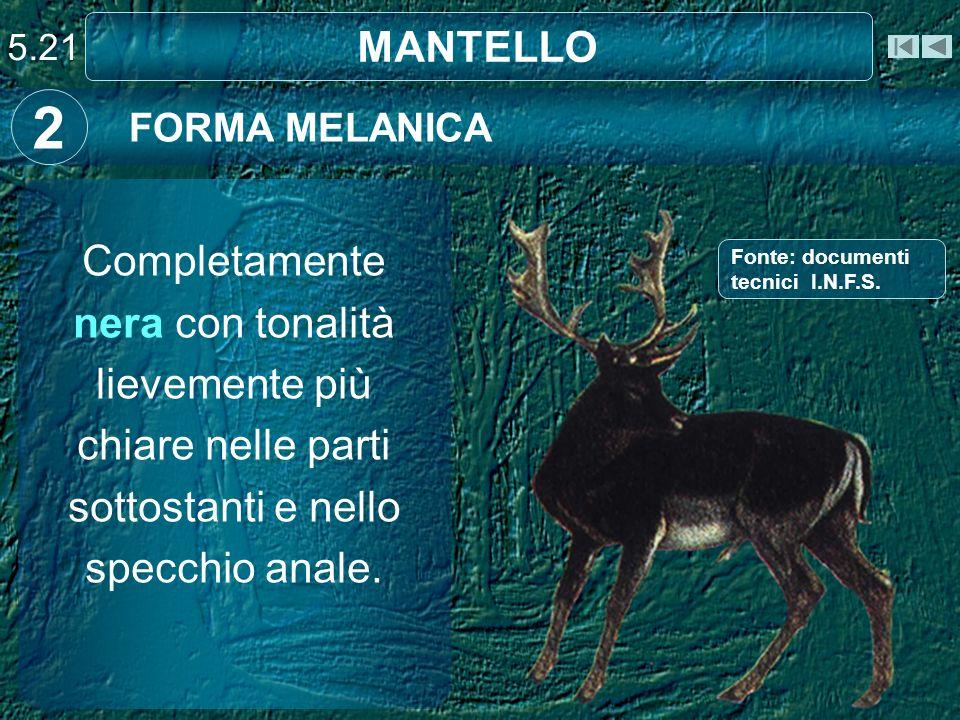 5.21 MANTELLO. 2. FORMA MELANICA. Completamente nera con tonalità lievemente più chiare nelle parti sottostanti e nello specchio anale.
