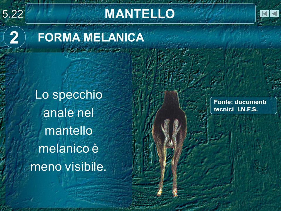 Lo specchio anale nel mantello melanico è meno visibile.