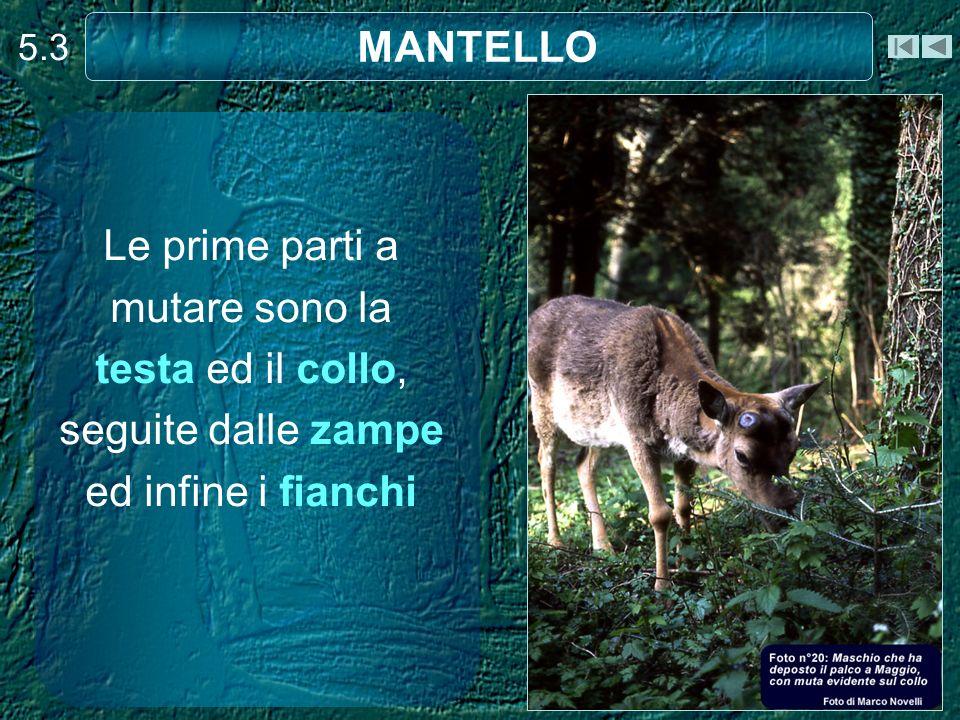 5.3 MANTELLO.