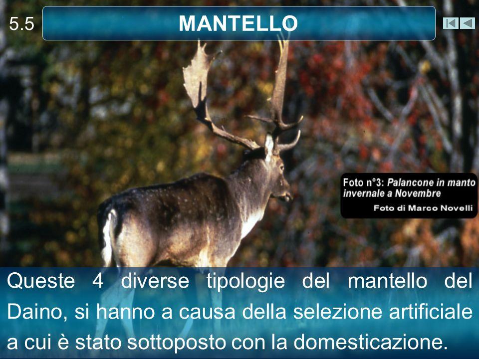 5.5 MANTELLO.