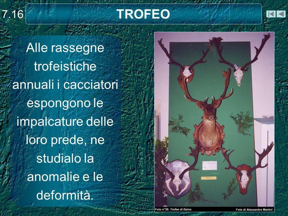 7.16 TROFEO. Alle rassegne trofeistiche annuali i cacciatori espongono le impalcature delle loro prede, ne studialo la anomalie e le deformità.