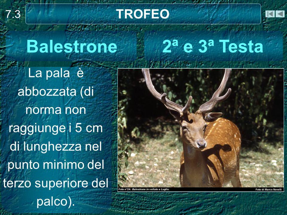 Balestrone 2ª e 3ª Testa TROFEO