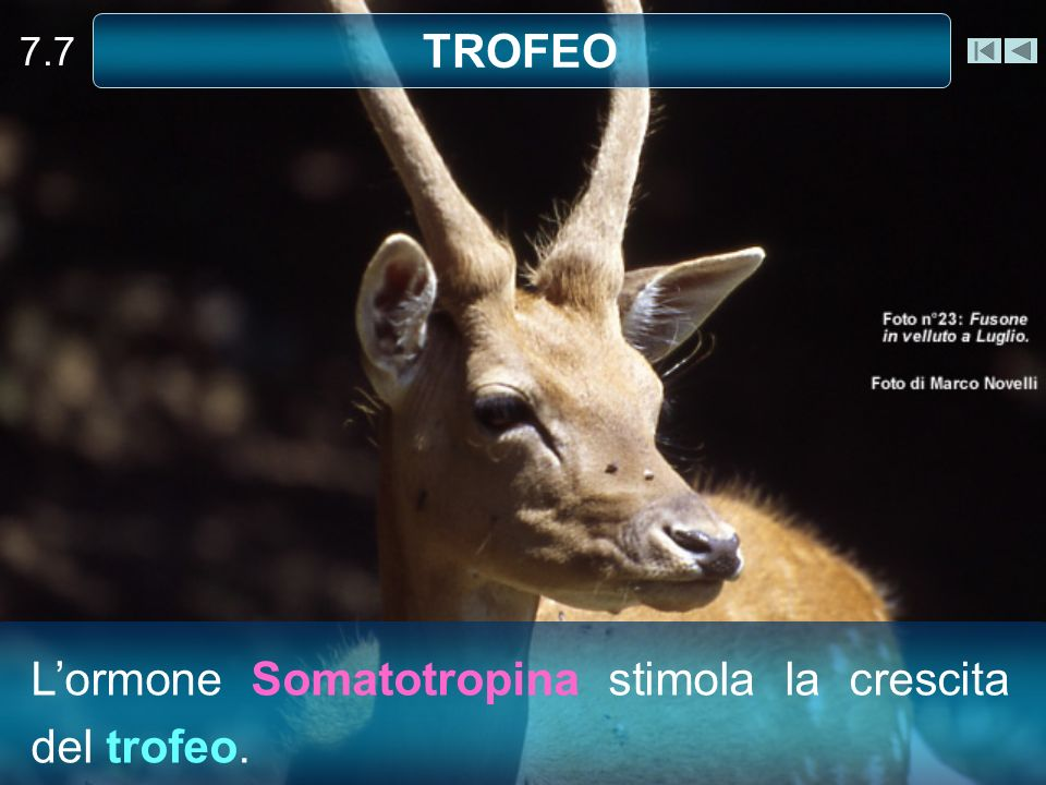 L'ormone Somatotropina stimola la crescita del trofeo.