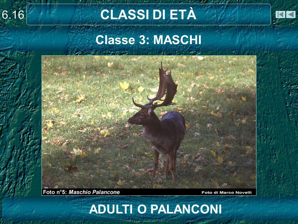 6.16 CLASSI DI ETÀ Classe 3: MASCHI Capriolo ADULTI O PALANCONI