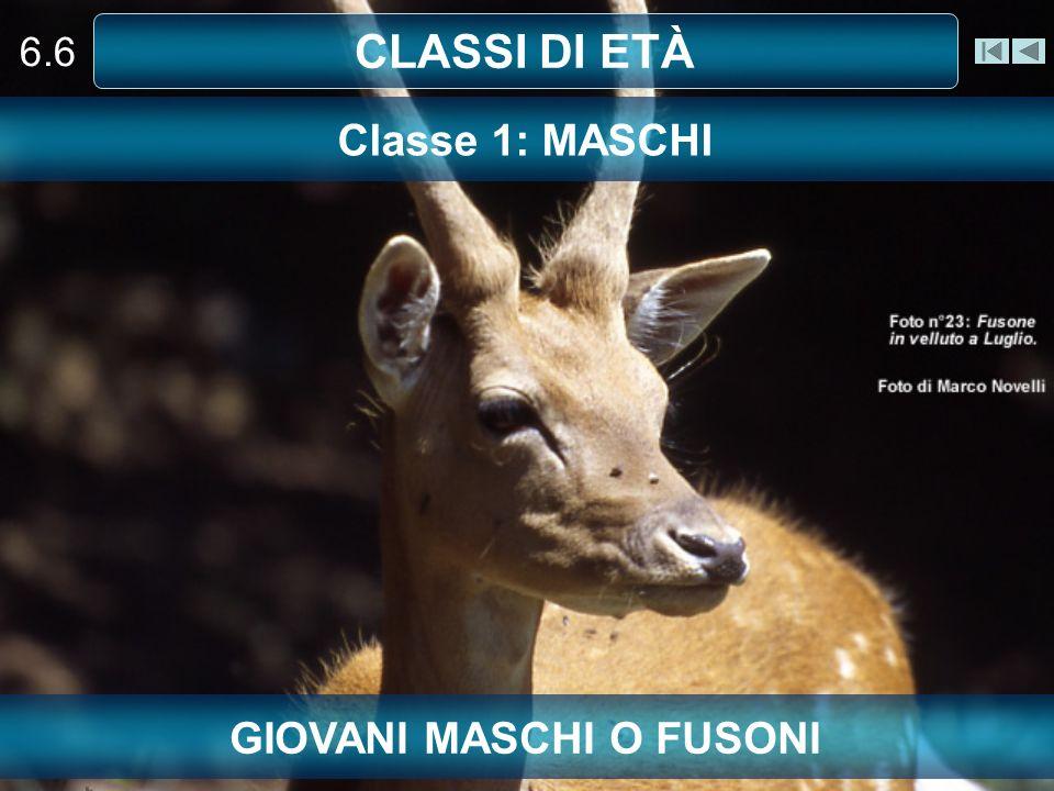 GIOVANI MASCHI O FUSONI